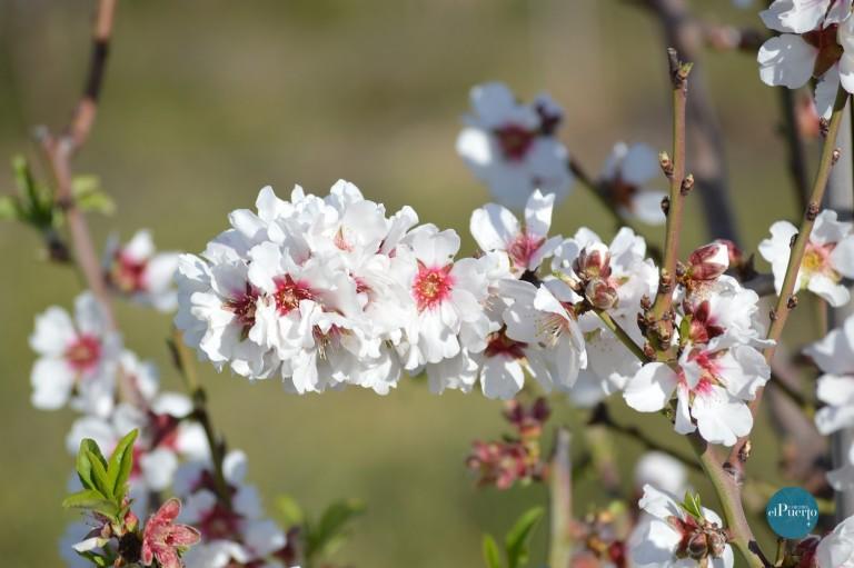 Floración de los almendros