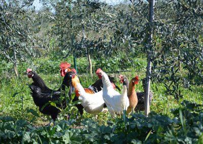 Gallinas en granja ecologica y biodinamica cortijo el puerto