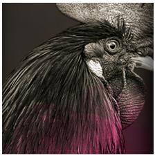 Variedad hojiblanca