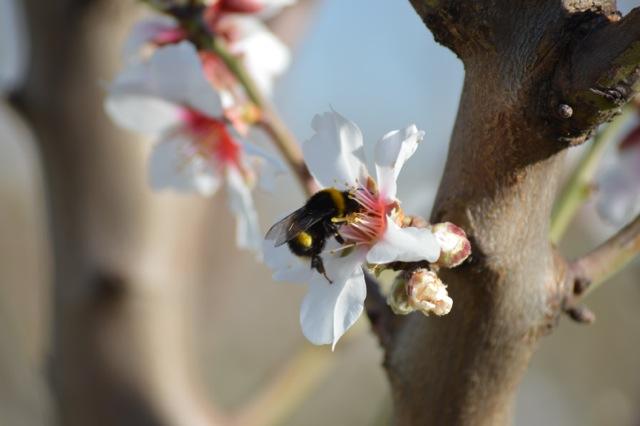 Almendros Ecológicos en flor. ¡viva la biodiversidad y la interacción!