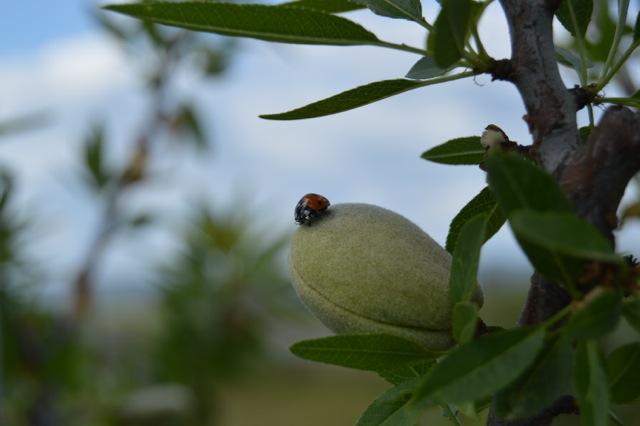 Cortijo el Puerto, pionera en España, obtiene certificado ecológico en el cultivo de almendro en seto