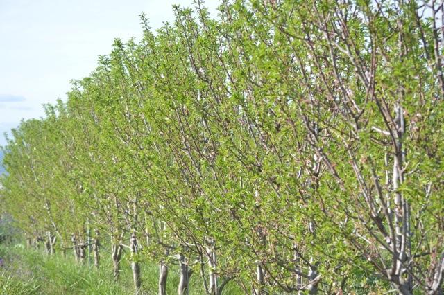 Cortijo el Puerto organic almond trees
