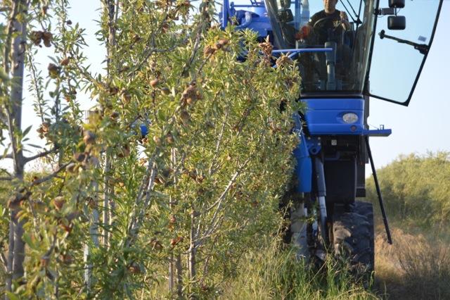 Cortijo el Puerto organic almond trees harvester