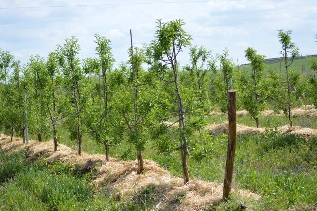Cortijo el Puerto organic almond trees hedgerow system