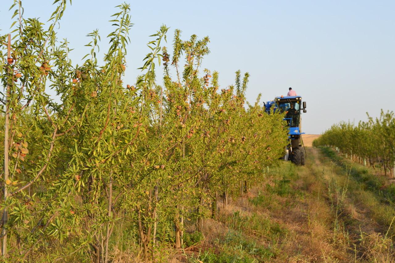 Harvesting Organic Almonds Cortijo el Puerto 2018