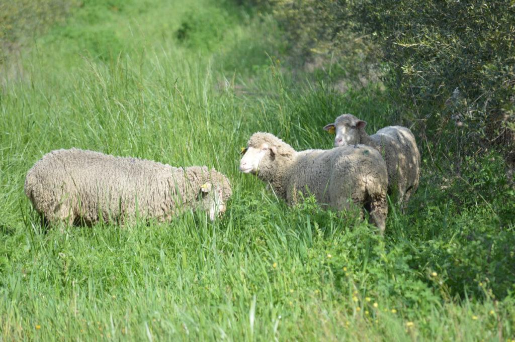 white merino sheep organic livestock