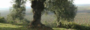 Interempresas: Llega la cita del olivar y aceite ecológico en Almendral