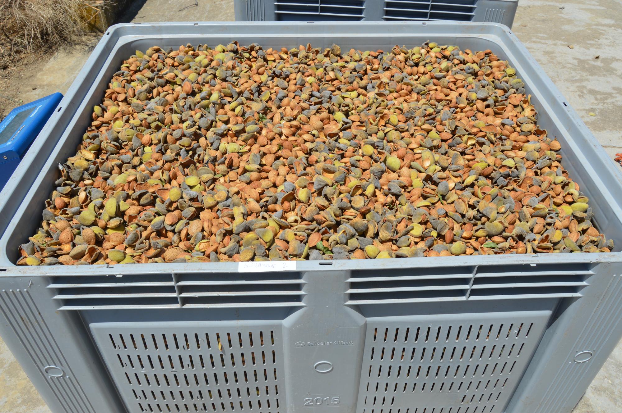Organic biodynamic Demeter certified almonds Cortijo el Puerto Ingeoliva