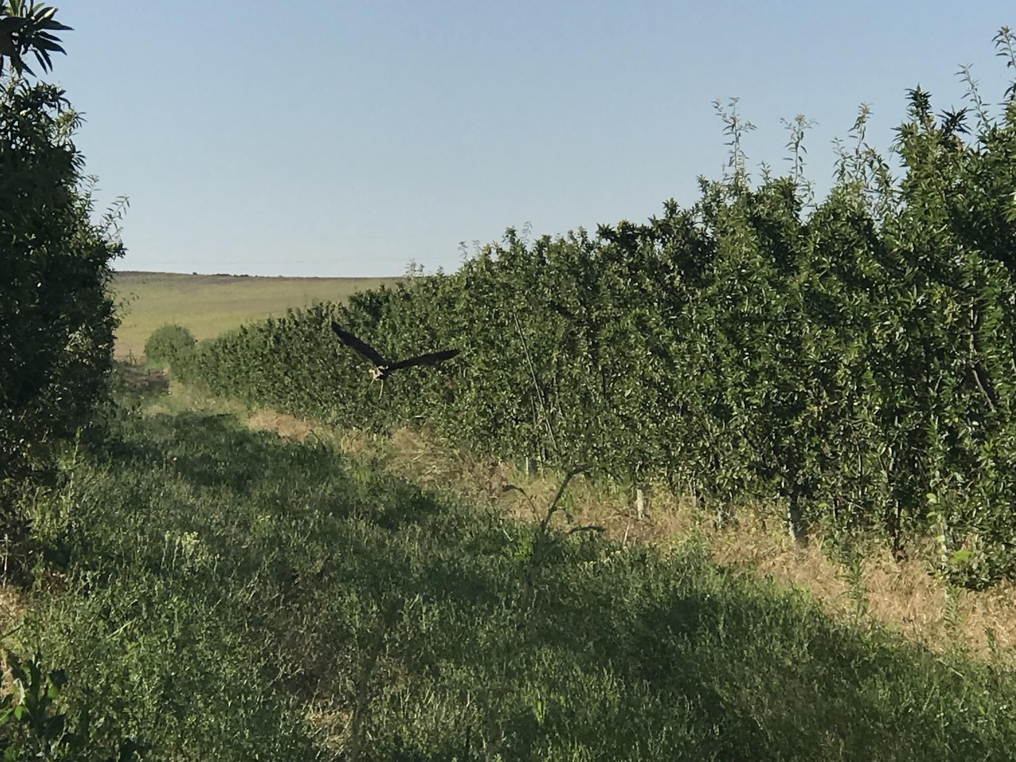 almonds, eagle, biodynamic organic ecosystem byodinámic cortijo el puerto