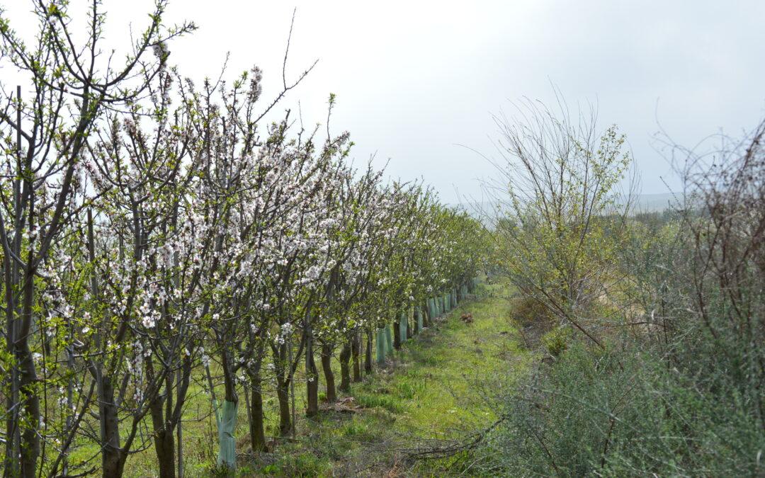 Organic+ Almonds: Cortijo el Puerto World first in hedgerow system biodynamic almond certification