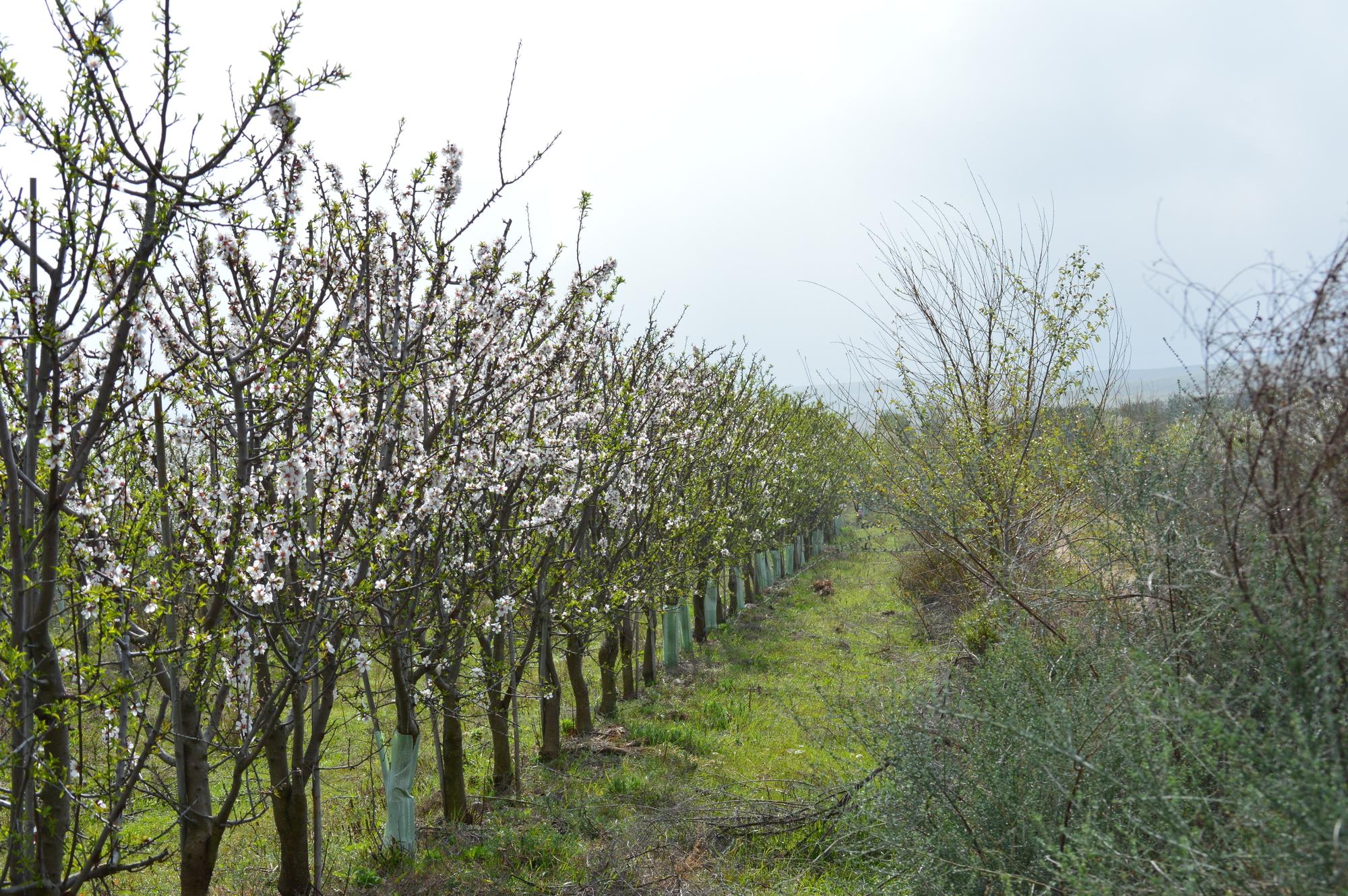 GPS en seto almendros flor ecologica biodinámica cortijo el puerto