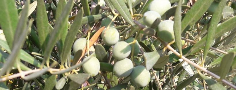 Chiquitita _oliva2_idi_aceite de Oliva Ecológico y Biodinámico Cortijo el Puerto