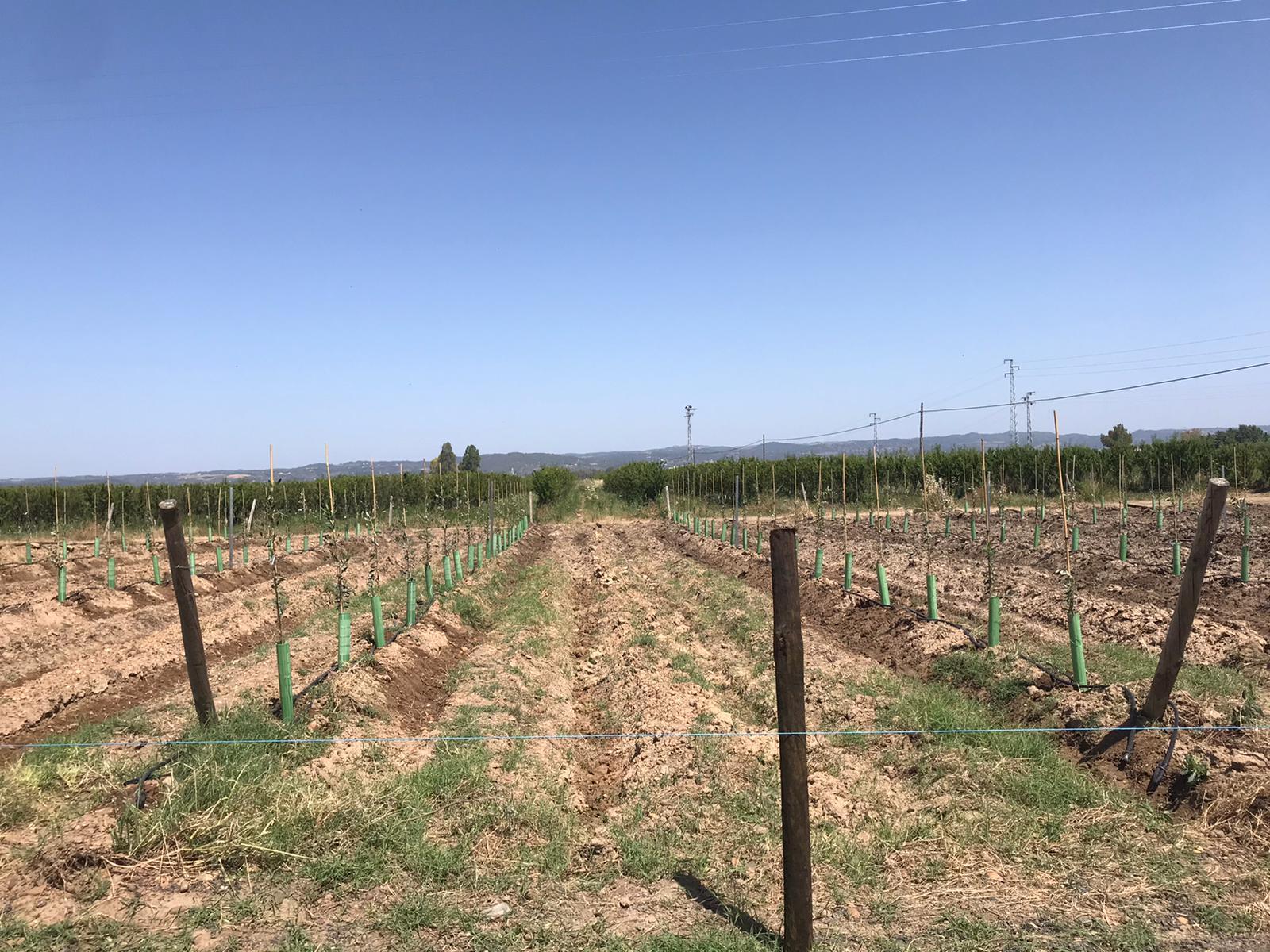 nuevas variedades Olivo Ifapa_Cortijo el Puerto_plantación
