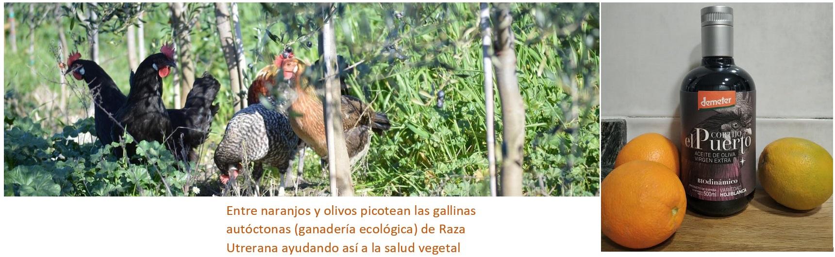 AOVE ecologico biodinamico Cortijo el Puerto Hojiblanca Organic Farm livestock agriculture