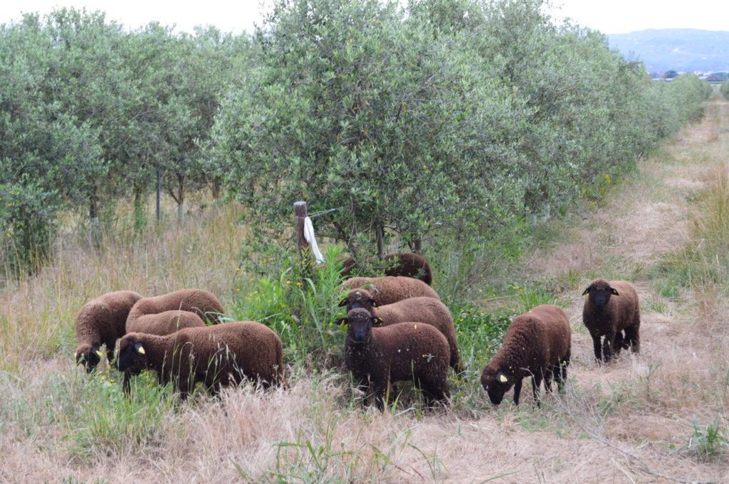black merino sheep cortijo el puerto