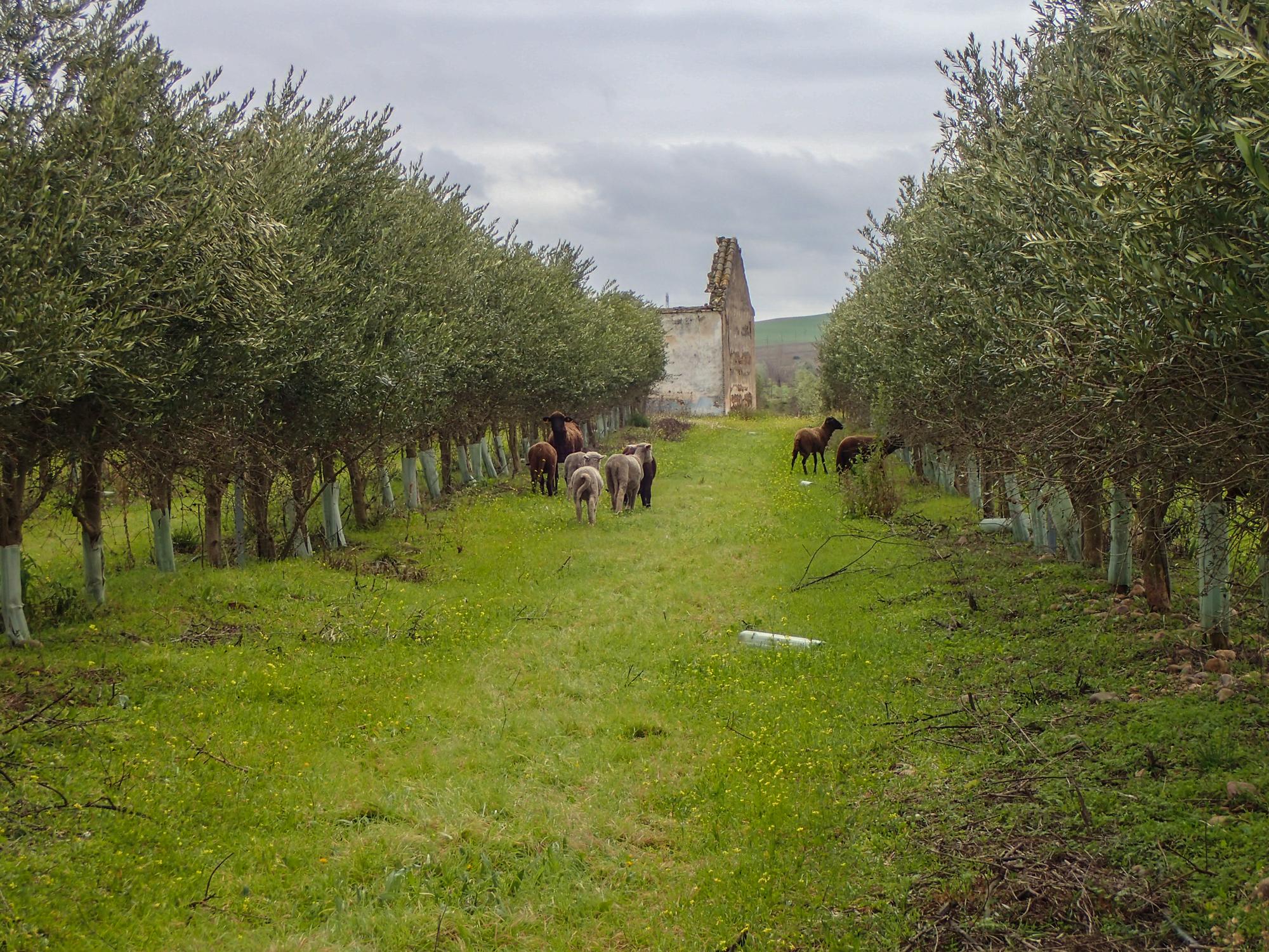 Merino sheep biodynamic livestock cortijo el Puerto