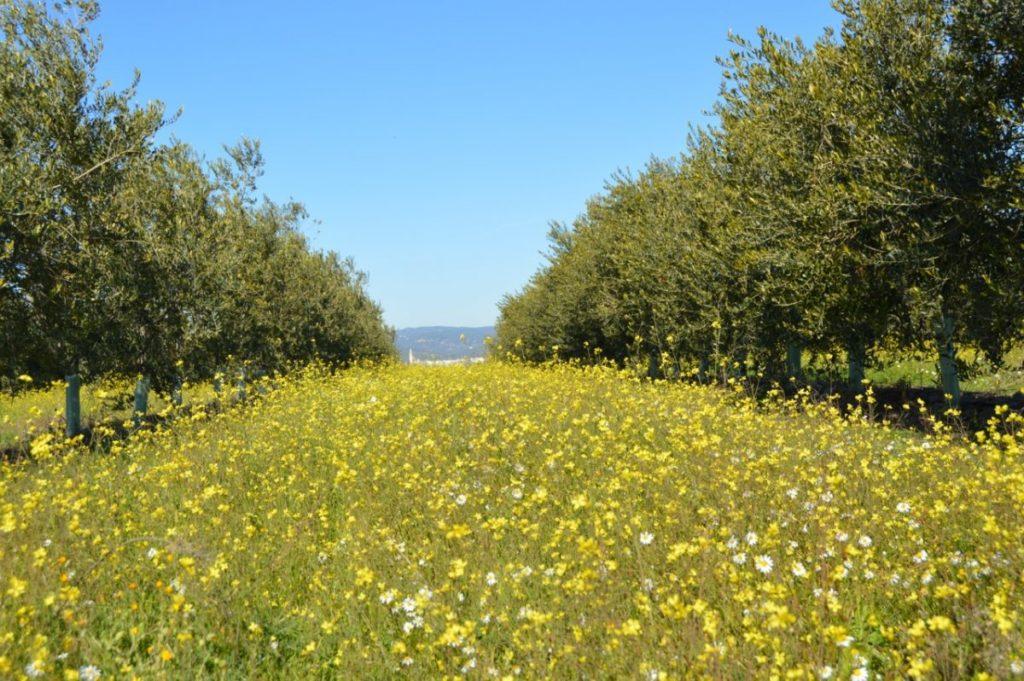 Organic biodynamic olive Grove Cortijo el Puerto Andalusia
