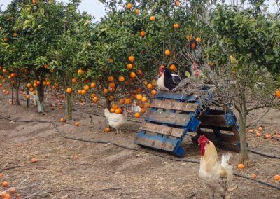 biologische Viehzucht biodynamisch landwirtschaft cortijo el puerto huhn