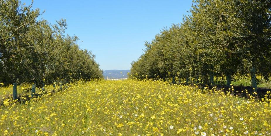 demeter bio olivenöl cortijo el puerto Oliven