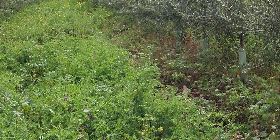 LEGUMES SOURCE OF NITROGEN soil conservation organic Cortijo el Puerto