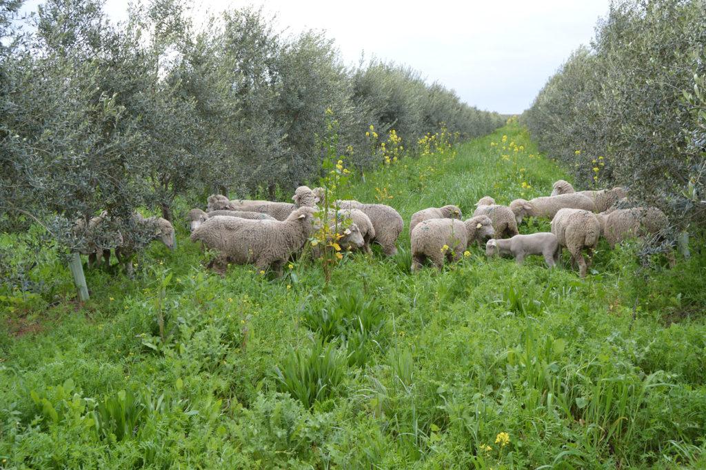 ovejas merina ganadería ecológica por la biodiversidad Cortijo el Puerto Andalucía